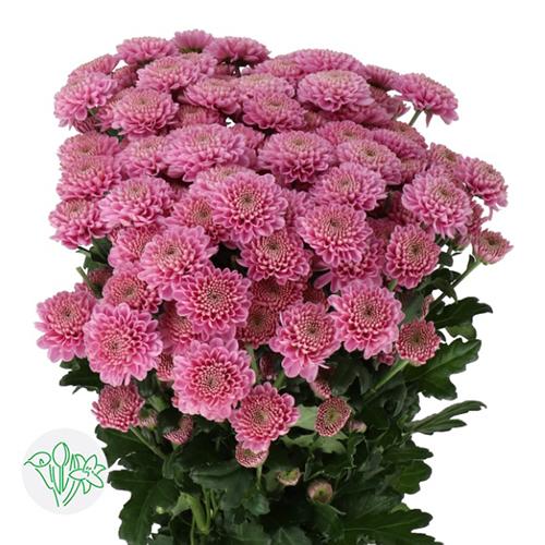 Chrsanthemum Light Pink