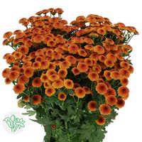Chrsanthemum Orange