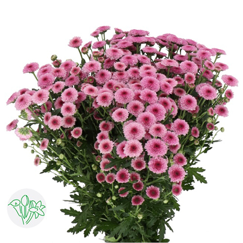 Chrsanthemum Pink