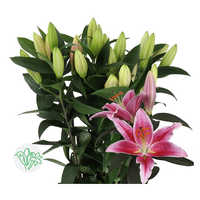 Lilly Pink