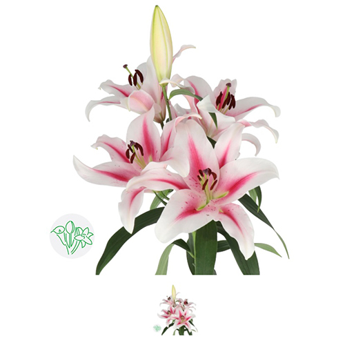 Lilly Snow Pink