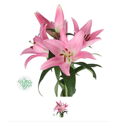 Lilly of Pink