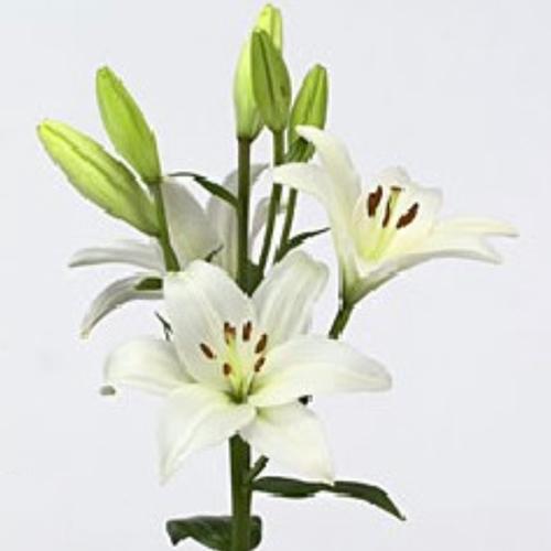 Oriental Lilly White