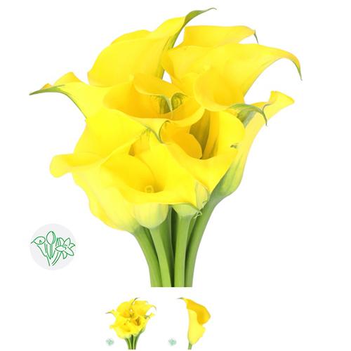 Calla Lilly Yellow