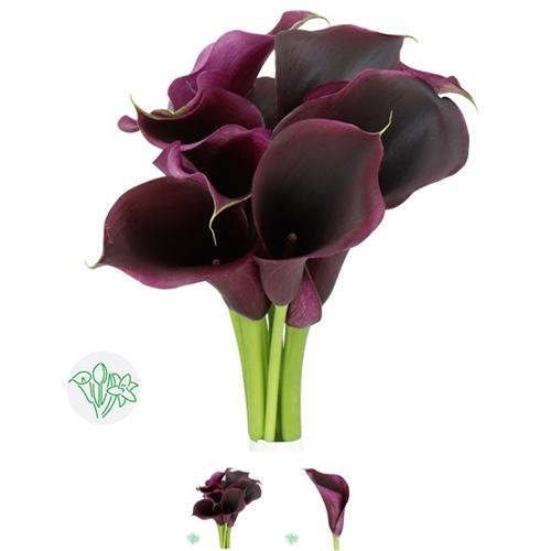 Calla Lilly Purplee