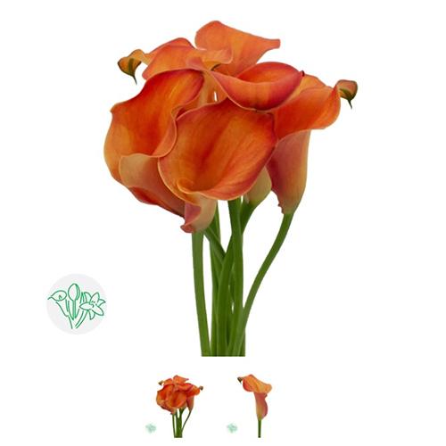 Calla Lilly Orange