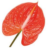 Anthurium Orange