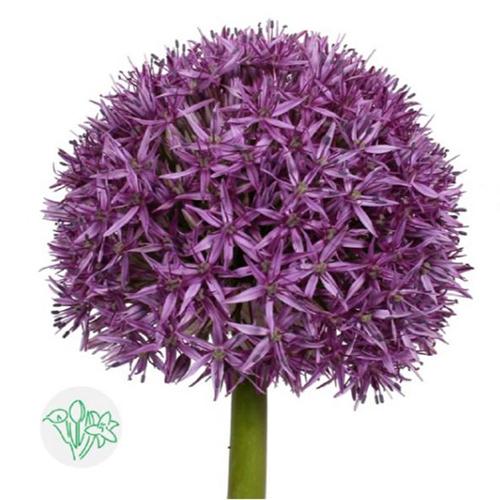 Allium Ball