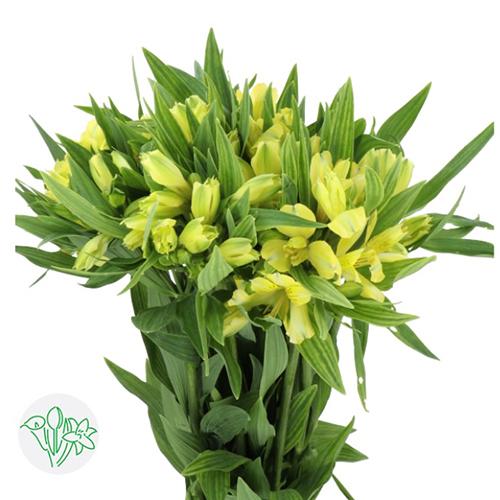 Alestromeria Yellow