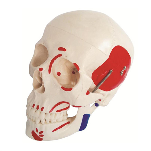 Life-Size Skull With Painted Muscles