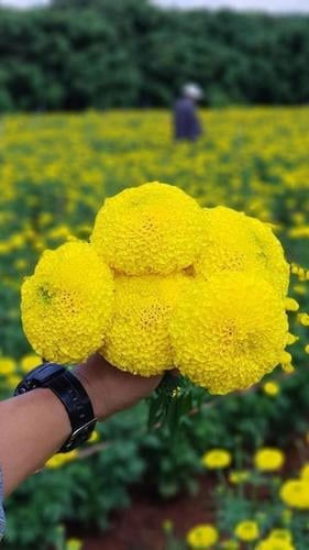 Tokyo F1 Marigold Seeds