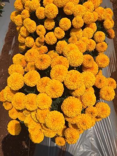 Super ball F1 Marigold seeds