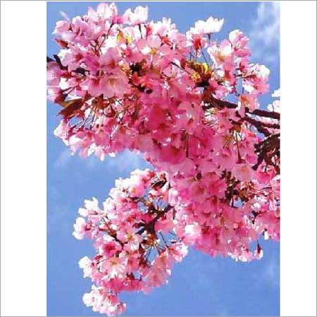 Attar Mehndi Blossom