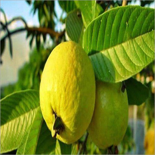 Guava Oil