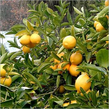 Lemon Cold Pressed Oil
