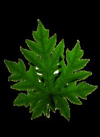 Ayurvedic Herbal Natural Papaya Extract Tablet Capsule Syrup