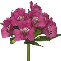 Alestromeria Dark Pink