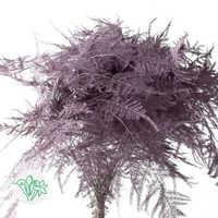 Aspargus Painted Purple