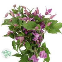 Clematis Lavender