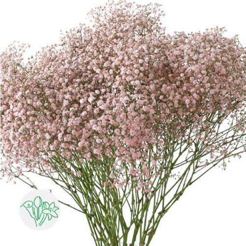 Gypso Pink