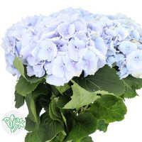 Hydrangea Soft Blue