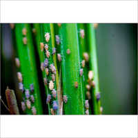 Bio BPH (Brown Plant Hopper) Control Pesticides for Paddy Rice