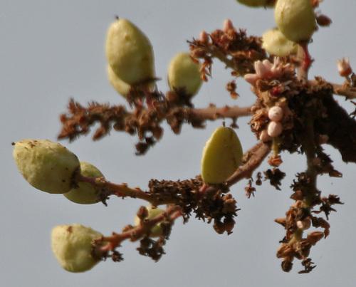 Boswellia Serrata Dry