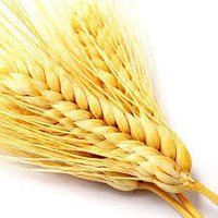 Wheat Protein Hydrolysate