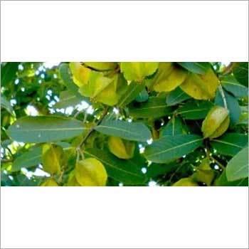 Termenalia Arjuna Seeds