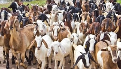 Goat ( Bakri )
