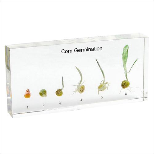 Plastic Embedded Corn Germination