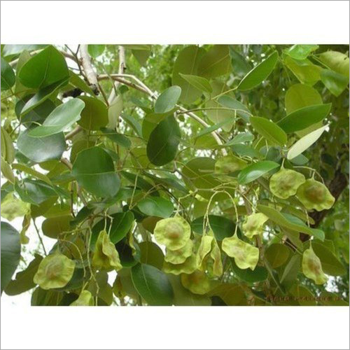 Pterocarpus Santalinus Powder