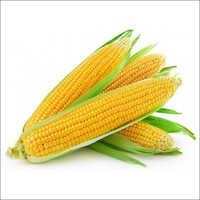 Fresh Maize Corn