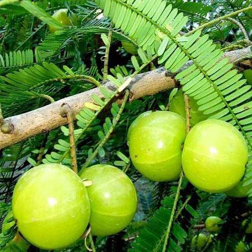 Amla seeds  (Phyllanthus Emblica )