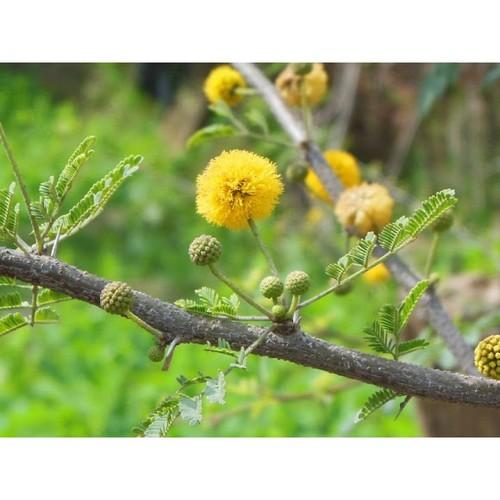 Desi Babool seeds