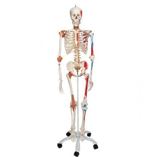 Colored Skeleton