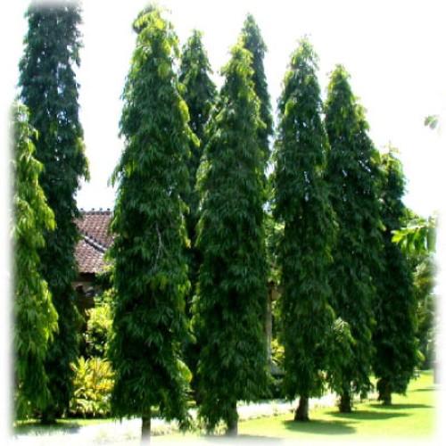 Pendula Ashoka seeds