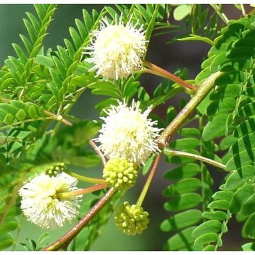 Leucaena Leucocephalia , Subabul seed