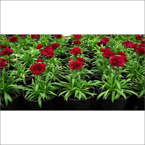 Natural Carnation Plant