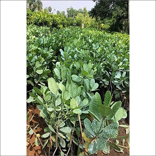 Pure Cashew Plant