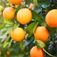 Oranges .