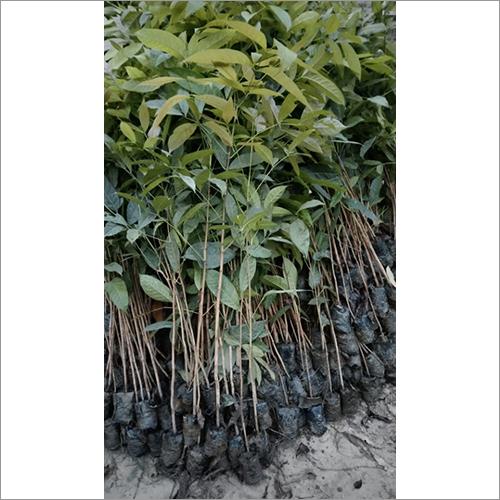 Natural African Mahogany Plant