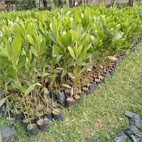 Natural Australian Teak Plant