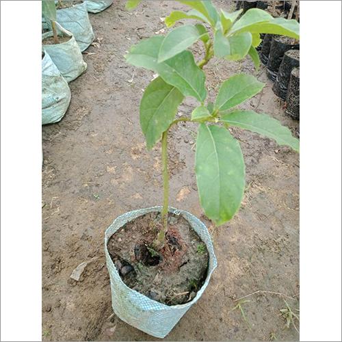 Natural Avocado Grafted Plant