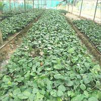 Natural Black Pepper Plant