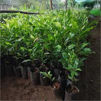 Natural Clove (Labanga) Plant