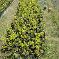 Natural Custard Apple-Sitafal Plant