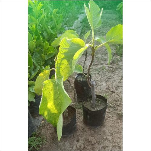 Natural Anzeer Plant
