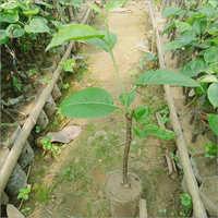 Natural Green Pears (Nespati) Plant