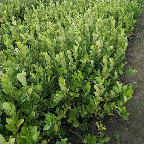 Kanzi Lemon Plant